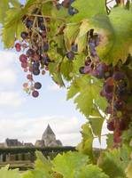 CHATEAU VILLANDRY GRAPES