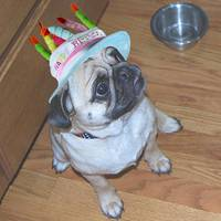 Birthday Pug Dude