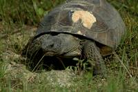 endangered FL gopher tortuous 2