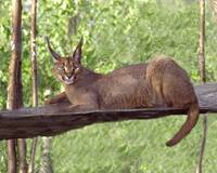 Caracal Cat Laying Down