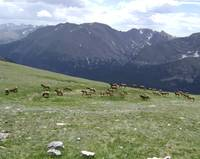 Elk Herd Grazing