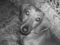 Miniature Dachshund in Black and White