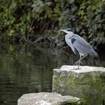 Grey Heron on rock