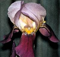 Light Purple Iris 2