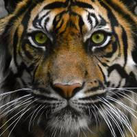 Eye of the Tiger ! Art Prints & Posters by Suresh Gundappa