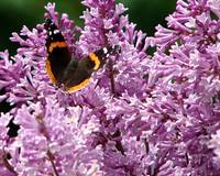 Red Admiral butterfly with lilacs