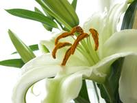 Lily Against White