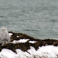 Snowy Owl Art Prints & Posters by Jennifer Manganello