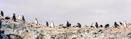 Ridge Penguins