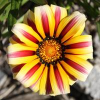 Striped Daisy by Carol Groenen