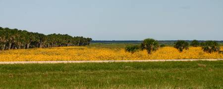 Yellow Field-Panoramic