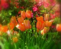 Flowers - Coral Tulips