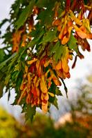 Front-Lit Maple Tree Seeds