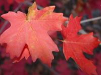 Red Maple Leaves in Autumn 2