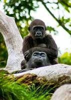 little boy gorilla sitting on dad's shoulders