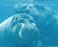 hippos napping together underwater