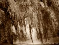Weeping Willow Tree in Sepia Tones