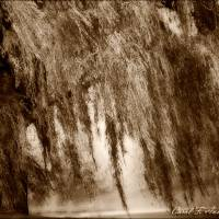 """""""Weeping Willow Tree in Sepia Tones"""" by PhotographsByCarolFAustin"""
