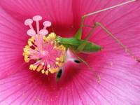 Katydid on Pink Hibiscus Flower