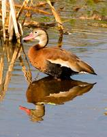 Blackbelly Whistling Ducks #6