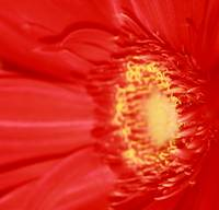 Red Gerbera Daisy
