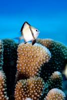 Juvenile Reticulated Dascyllus Damselfish in Pocil