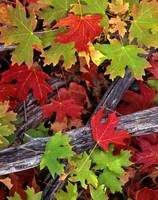 Red & Green Canyon Maple Leaves