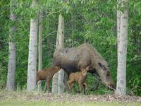 Nursing Moose