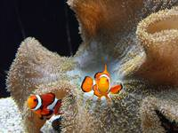 Clown Fish on guard