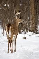 Winter Buck by Daniel Teetor
