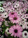 Three stand-out Daisy