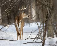 Winter Buck-2 by Daniel Teetor
