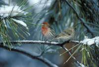 Finches in Snow by Tony Kerst