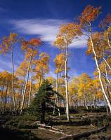 Ashley Forest Aspens 1