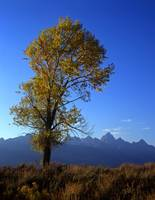 Tetons and a Cottonwood Tree