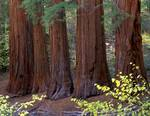 Five Sequoia Trees