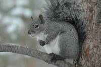 Gray Squirrel by Tony Kerst