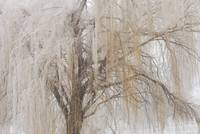 Willow tree is weeping ice today!