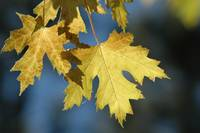 Autumn Maple Leaves by Tony Kerst