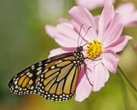 Monarch Butterfly on Cosmos