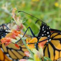 Valentines Day Butterfly Release Art Prints & Posters by Jean Broese