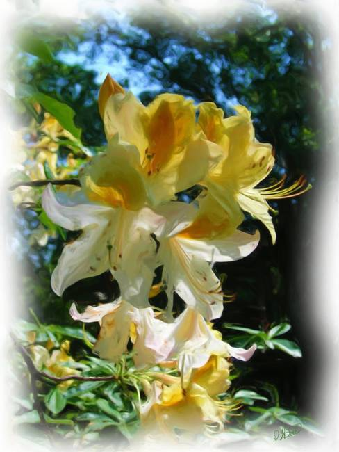 Yellow White Azalea