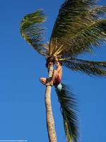 Guy Climbing A Coconut Tree
