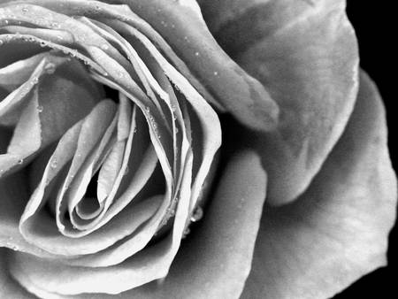 Monochrome Rose by Tony Dodd