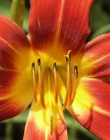 Red Daylily
