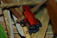 Costa Rica Blue Jeans Poison Dart Frog