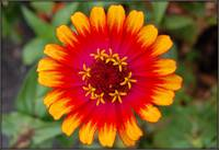 Bicolor Yellow and Orange Zinnia