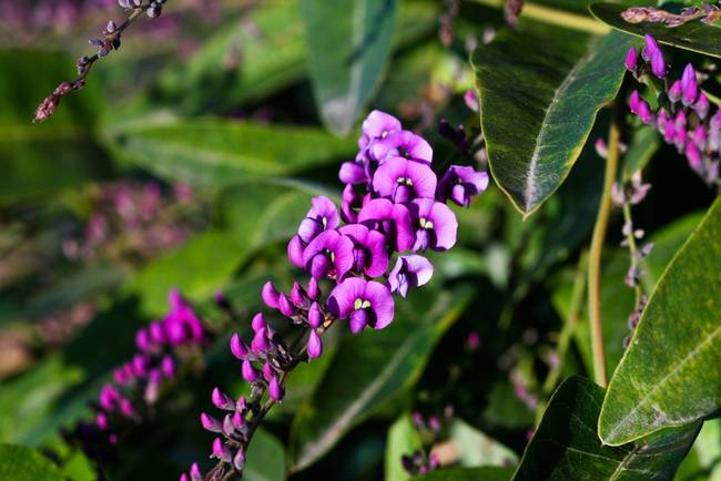 Pee Purple Flowers On A Climbing Vine By Dave Netto
