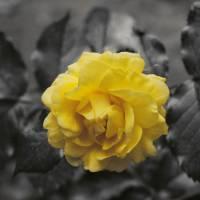 Yellow Rose Art Prints & Posters by Hugo & Heather Chikamori