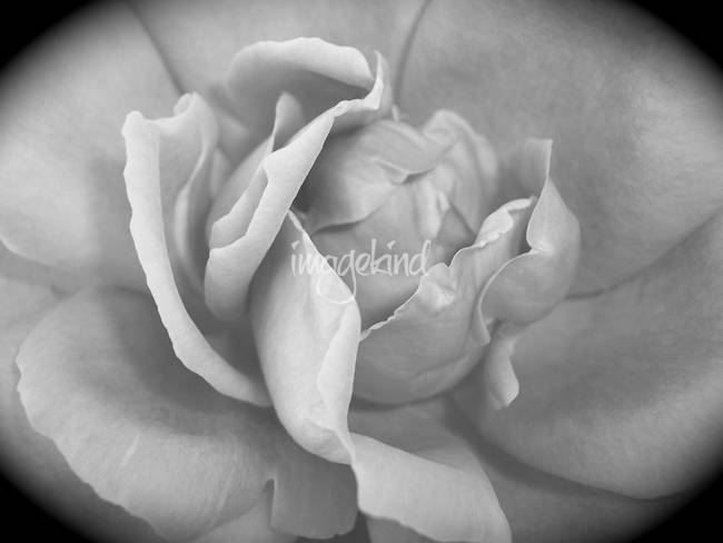 A Texas Rose in Black and White